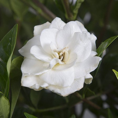 August beauty gardenia garden shrub fragrant white blooms august beauty gardenia garden shrub fragrant white blooms mightylinksfo