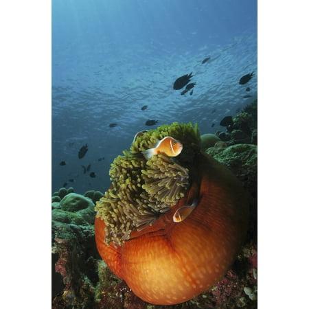 Clownfish and orange anemone Manado North Sulawesi Indonesia Poster - Clownfish Anemone