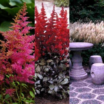 Classy Groundcovers - False Spirea (Astilbe) Mix, 25% off: 25 Pink, 25 Red, 25