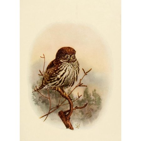 Birds Of California 1923 California Pygmy Owl Canvas Art   A Brooks  18 X 24