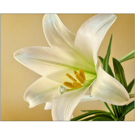 Easter Lily Number (Canvas Print Spring Flower Bloom Lily Plant Easter White Stretched Canvas 10 x 14)