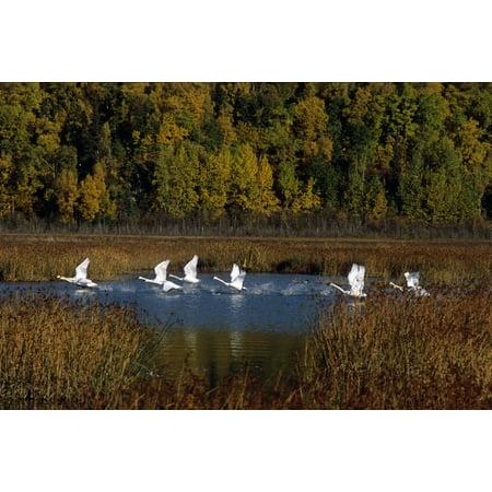 Trumpeter Swans In Flight Over Potter Marsh In Southcentral Alaska During Fall PosterPrint (Flight Plotter)