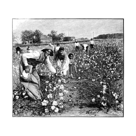 Cotton Industry, Early 20th Century Print Wall Art By Science Photo Library