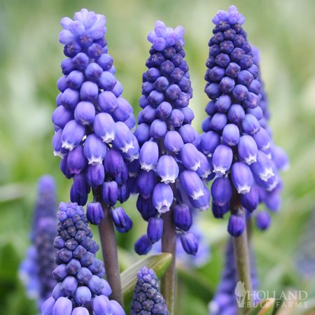 Blue Grape Hyacinth or Muscari Jumbo Pack - 100 Bulbs Per Pack Grape Hyacinth Bulbs