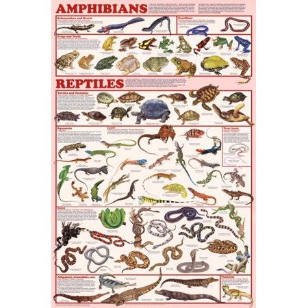 Amphibians   Reptiles Poster 24X36  Decorate Your Walls With This Brand New Poster By Poster Revolution
