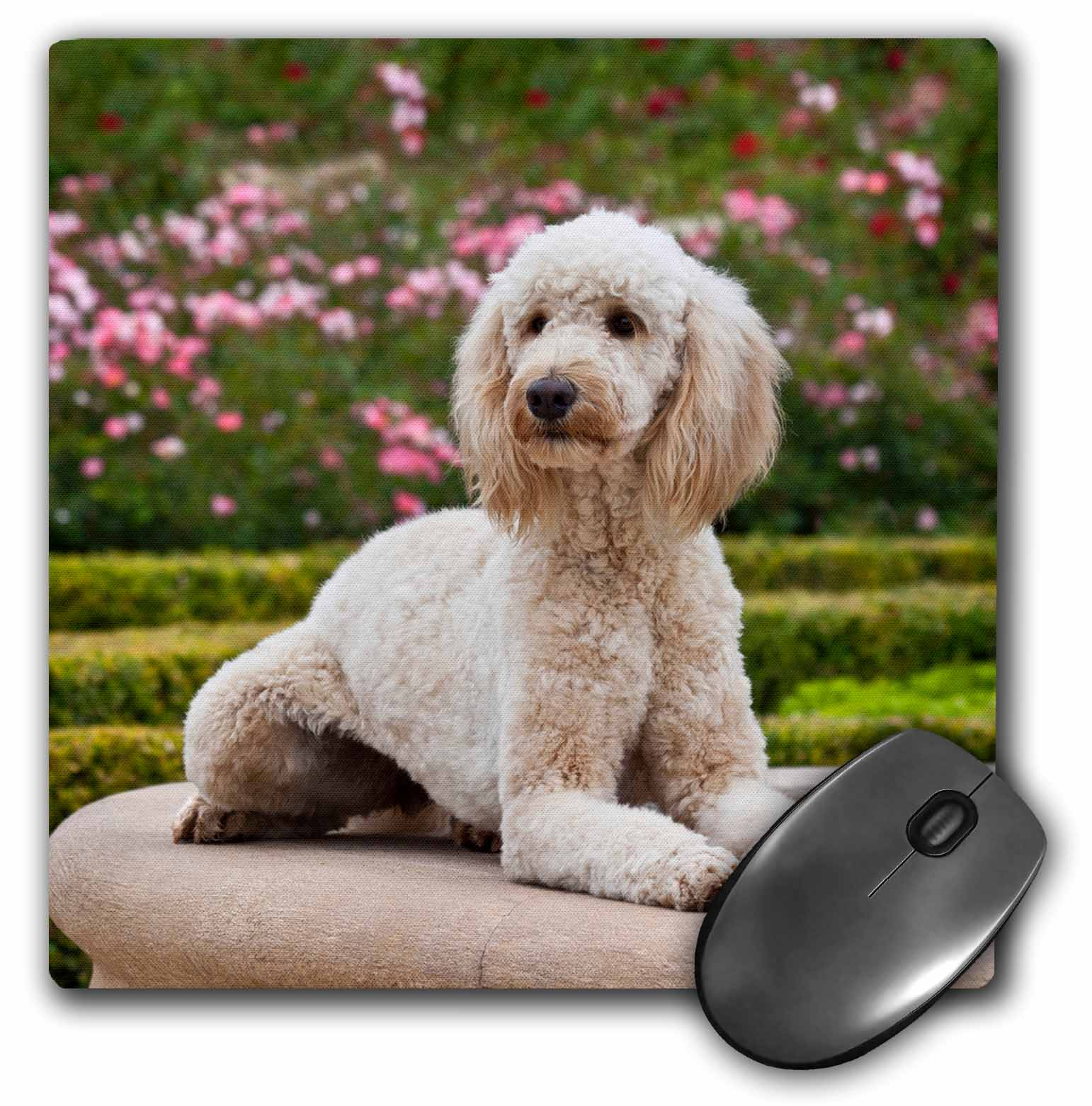 3dRose USA, California. Labradoodle lying by fountain in rose garden., Mouse Pad, 8 by 8 inches