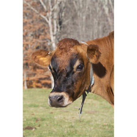 Posterazzi DPI12257357 Jersey Cow in Autumn Pasture Baldwin Brook Farm - Canterbury Connecticut United States of America Print - 12 x 19 in. - image 1 de 1