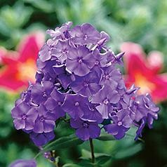 Blue Paradise Hardy Phlox - Large Violet- Blue Flowers - Live Plant - Quart Pot