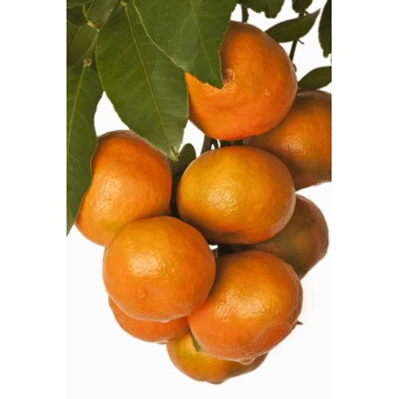 Mandarin Oranges Hanging from Tree Print Wall Art By Martin Harvey (Mandarin Hanging)