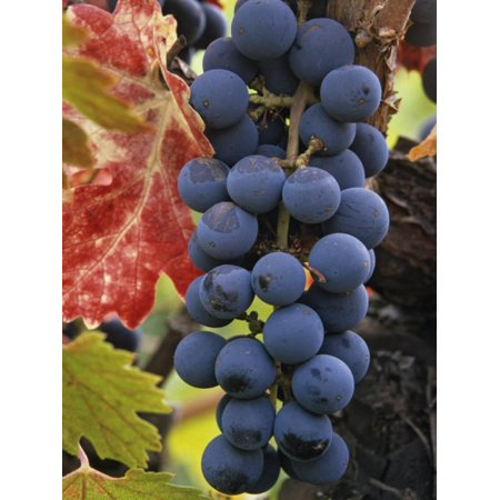 Napa Valley Cabernet - Detail of Cabernet Savignon Grapes on the Vine in Napa Valley, California, USA Print Wall Art By Dennis Flaherty