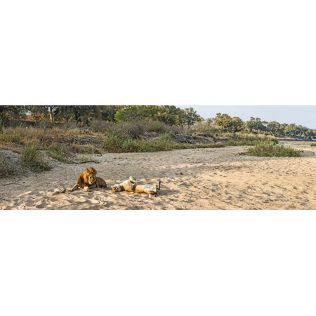 Male And Female Lions  Panthera Leo  On Dry Riverbed Mala Mala Game Reserve South Africa Canvas Art   Panoramic Images  27 X 9