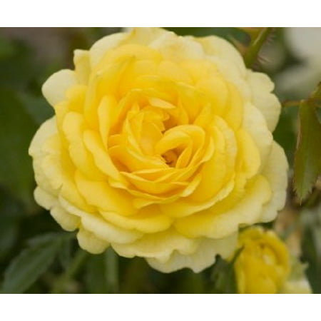 Easy Elegance® High Voltage Yellow Rose - Live Plant - 4