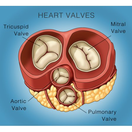 Heart Valves Illustration Rolled Canvas Art   Monica Schroederscience Source  24 X 18