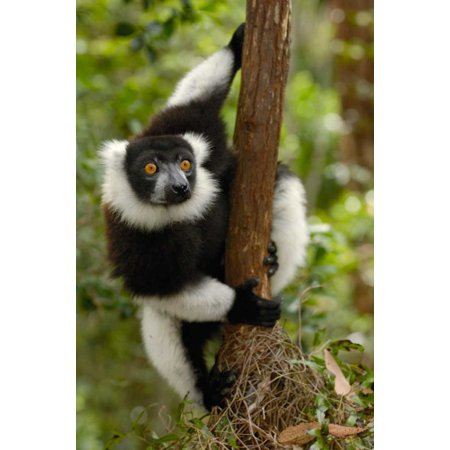 Black and White Ruffed Lemur in rainforest Mantadia NP Madagascar Poster Print by Pete Oxford
