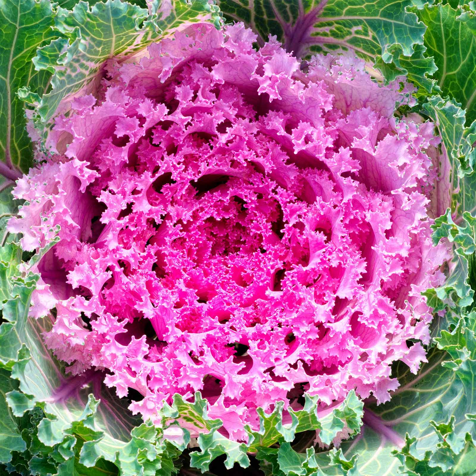 Kamome Series Flowering Kale Garden Seeds - Mix - 1000 Seeds - Non-GMO Vegetable Gardening Seed - Brassica Oleracea