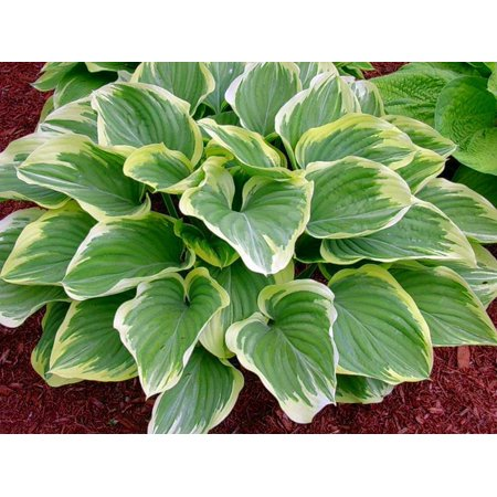 Blazing Saddles Hosta - NEW! - Large Hosta! - Live Plant - Quart Pot