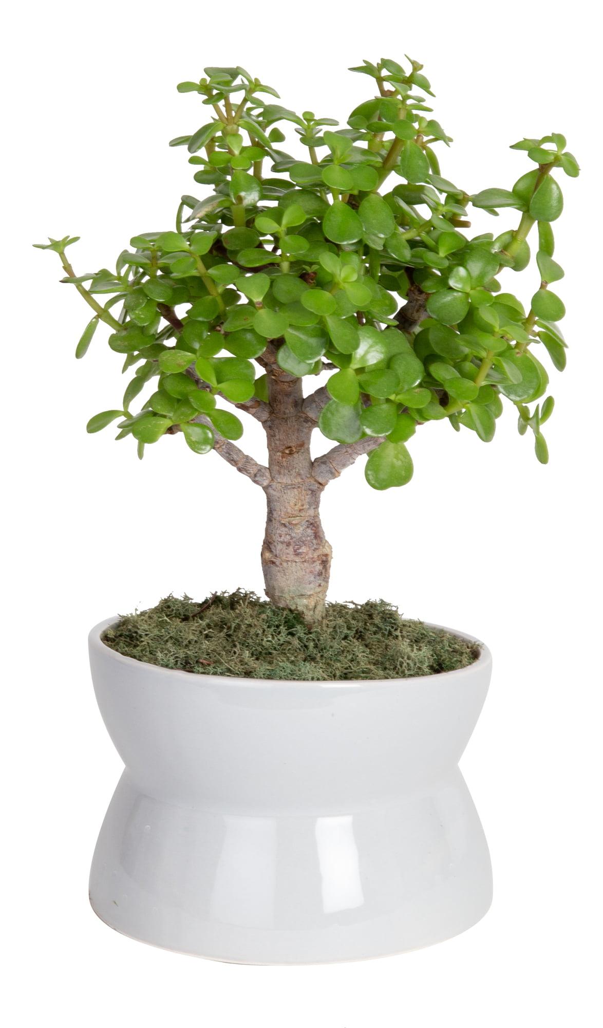 Better Homes Gardens Live Indoor 15in Tall Green Bonsai Plant Partial Sun In 6in Ceramic Planter Walmart Com Walmart Com