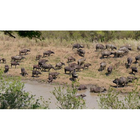 Laminated Poster Buffalo Herd Animals South Africa Hluhluwe Poster Print 11 x 17