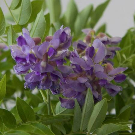 Amethyst falls wisteria purple flowers climbing vine walmart amethyst falls wisteria purple flowers climbing vine mightylinksfo