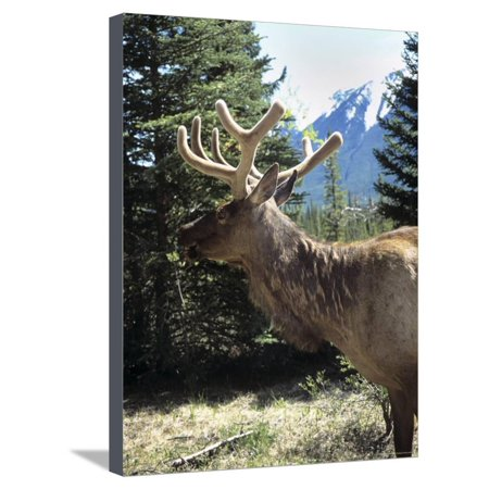 Elk or Wapiti, Bow Valley Parkway, Banff National Park, Rocky Mountains, Alberta, Canada Stretched Canvas Print Wall Art By Pearl