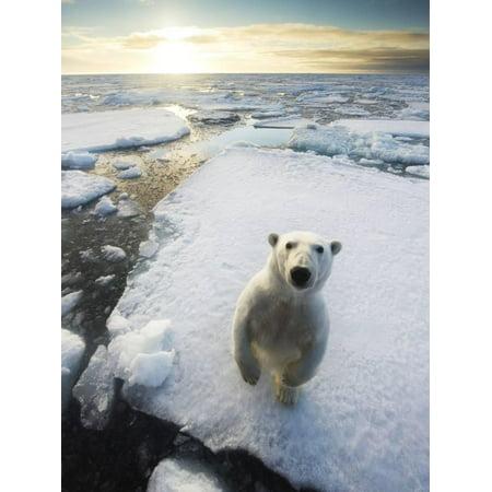 Polar Bear (Ursus Maritimus) Standing on Ice Floe, Looking at Camera. Svalbard, Norway. August Print Wall Art By Ole Jorgen