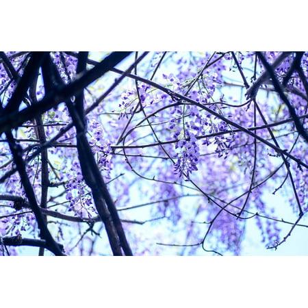 Wisteria Natural Hues Natural - LAMINATED POSTER Flowers Spring Flowers Spring Natural Wisteria Poster Print 11 x 17