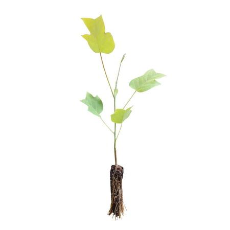 Tulip Poplar | Small Tree Seedling | The Jonsteen