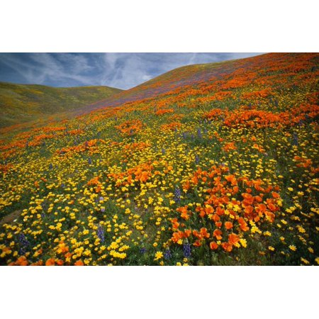 Hills covered with California Poppies and Lupine Tehachapi Mountains California Poster Print by Tim Fitzharris