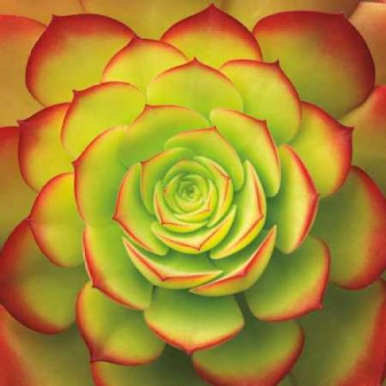 Fiery Succulent Poster Print by Jan Bell