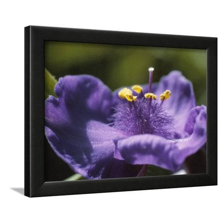 Close up of beautiful blooming purple flower with yellow pollen and close up of beautiful blooming purple flower with yellow pollen and stamen framed print wall art walmart mightylinksfo