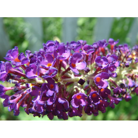 Butterfly Bush (Canvas Print Davidii Flower Bloom Butterfly Bush Buddleja Stretched Canvas 10 x 14 )