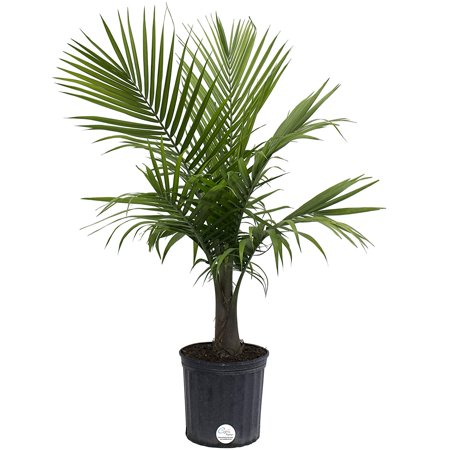 Majesty Palm Live Indoor Floor Plant in 8.75-Inch Grower Pot, Do not rWalmartmend shipping to states currently experiencing extreme cold.., By Costa (Indoor Floor Plants)
