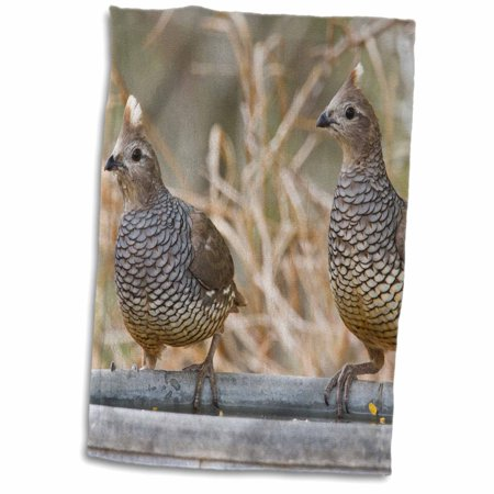 3dRose Scaled Quail bird pair perched on water pan - US44 LDI0718 - Larry Ditto - Towel, 15 by 22-inch