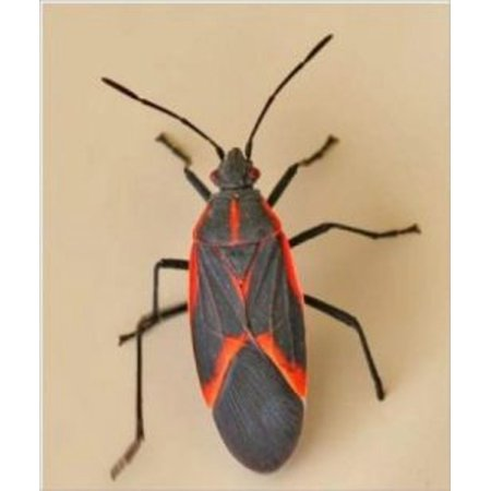A Crash Course on How to Get Rid of Box Elder Bugs -