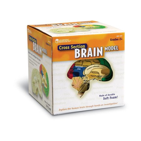 Learning Resources Cross-Section Brain Model, Ages (Brain Module)