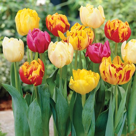 Tulip Double Early Mix, 6-Pack