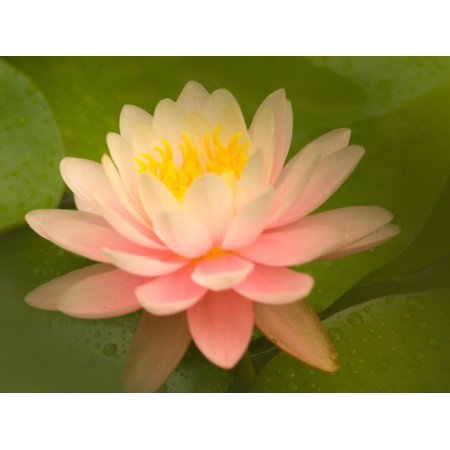 Pink and White Hardy Water Lily, Union Mills, Westminster, Maryland, USA Print Wall Art By Corey (Malls Maryland)