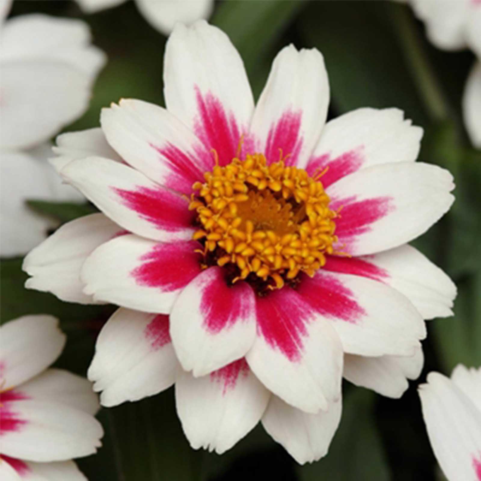 Zinnia Flower Garden Seeds - Zahara Series - Starlight Rose - 100 Seeds - Annual Flower Gardening Seed - Zinnia Marylandia