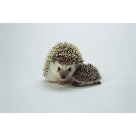 African Hedgehog mother and baby native to Africa Poster Print by San Diego Zoo