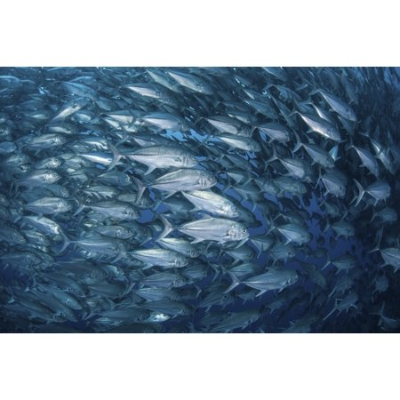 A massive school of bigeye trevally near Cocos Island Costa Rica Canvas Art - Ethan DanielsStocktrek Images (17 x 12)
