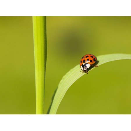 Asian lady beetle on blade of grass Print Wall Art By Frank Lukasseck