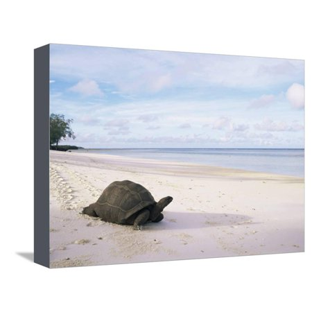 Pete Canvas Art (Aldabra Tortoise on Beach, Picard Island, Aldabra, Seychelles Stretched Canvas Print Wall Art By Pete Oxford)