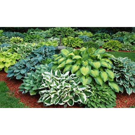 Mixed Hosta 9 Bare Roots Walmartcom