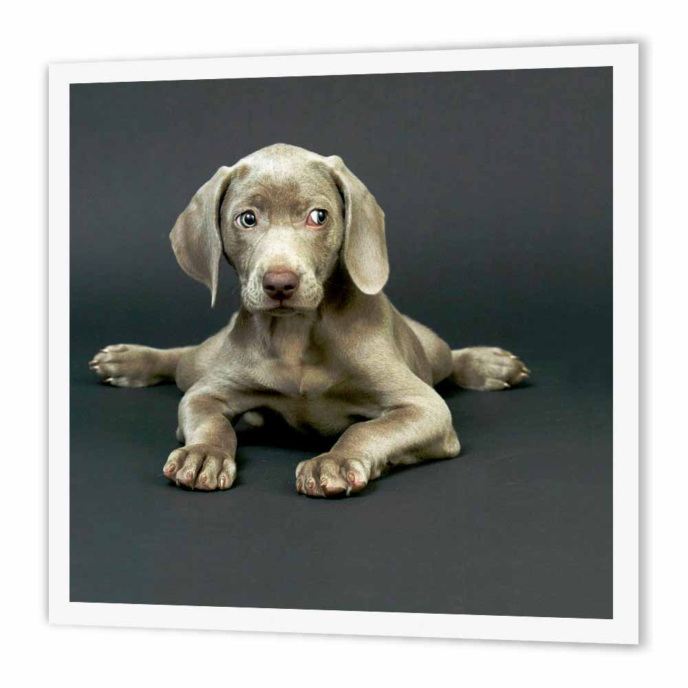 3dRose Weimaraner Puppy, Iron On Heat Transfer, 6 by 6-inch, For White Material