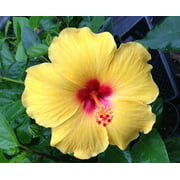 Hawaiian Yellow Hibiscus Cutting - 1 Pack 1 Cutting 2 to 4 Inches