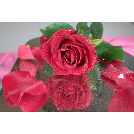 LAMINATED POSTER Petals Drops Flower Beautiful Flower Red Rose Rose Poster Print 24 x 36