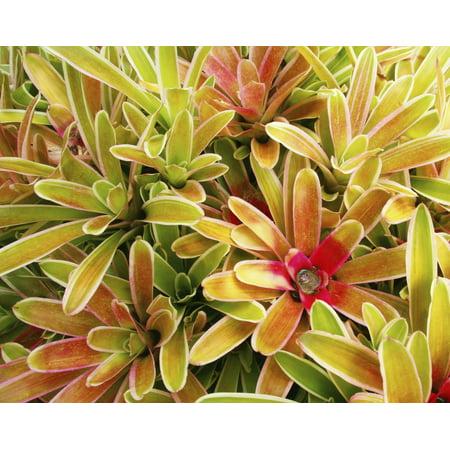 USA Hawaii Cluster Of Colorful Bromeliad Plants Maui Canvas Art - Ron Dahlquist Design Pics (30 x 24)