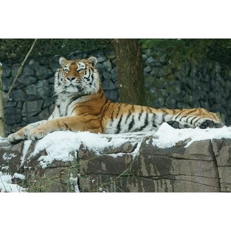 LAMINATED POSTER Carnivores Cat Winter Tiger Amurtiger Snow Poster Print 24 x 36](Snow Tiger For Sale)