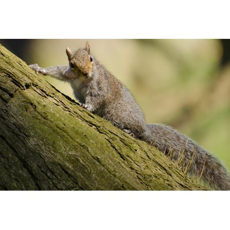 Canvas Print Bushy Rat Paw Mammal Tail Squirrel Tree Red Stretched Canvas 10 x 14 - Red Paw Print