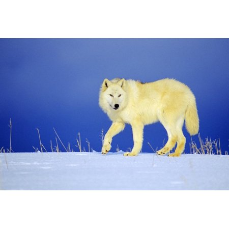 Arctic Gray Wolf in Winter Snow Print Wall Art